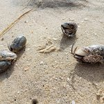 spotted hermit crabs in the beach