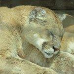 Mountain lion napping.