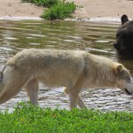 Bear and wolf at Bear Country USA