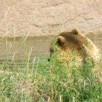 Grizzley bear at Bear Country, USA