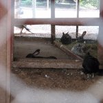 Rabbits in the fowl pen.