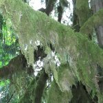 Green moss delicately draping branches
