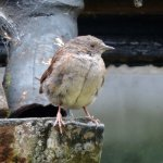 Very young Dunnock (I think) going by his tawny-brown eyes.