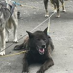 This dog looked like a bear! One of our team
