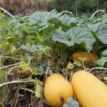 Summer squash, grown with love at our Faultline Farm