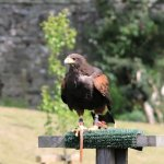 Falconry at Dunrobin Castle