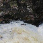 Salmon at Shin Falls