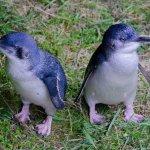 Blue Penguins Pukekura Photo