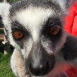 Inne hos Lemurerna.