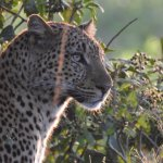 A beautiful leopard...and we have so many fantastic photos it's impossible to choose.
