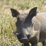 Warthog...one of the ugly five.