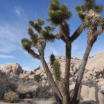 The weird and wonderful Joshua tree