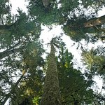 Tall trees in Cathedral Grove. Your neck gets tired looking up.