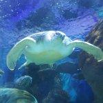 Noah the green sea turtle