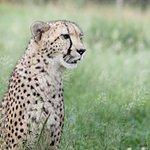 Cheetah, Raine