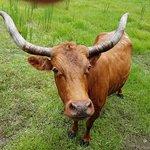 Native cattle...