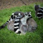Lemurs at Africa Alive!