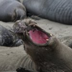 Elephant Seals Pierdras Blanca 12 miles away