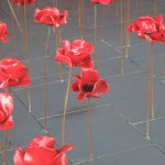 Closer view of the poppies