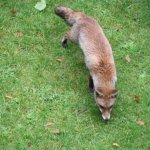 Fox visited hotel's backyard in a morning.