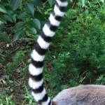 The Walking With Lemurs tour was beyond amazing! This ring-tailed lemur was extremely photogenic