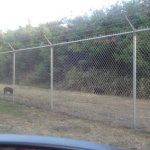 Wild Boar on Bellows AFS
