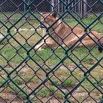 rescued lion & Bengal tiger