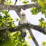 A young Ornate Hawk-eagle our guide showed us