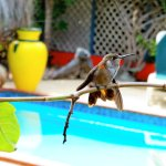 Watch the hummingbirds as they feed on the flowers......firecrackers are the favourite