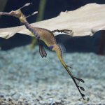 A Sea Dragon. One of the many exquisite creatures you can see at the aquarium.