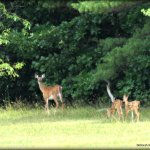 During our visit we were thrilled to see this Whitetail doe and twin fawns.