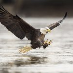 Bald Eagles are seen frequently around Ketchikan. It's always exciting to see them diving for sa