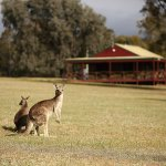 See the wild kangaroos in their natural habitats