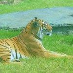 Tiger at the zoo. So pretty!