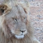 Lion just relaxing in Sambura