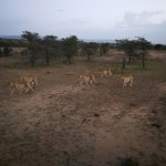 Five male cheetah hunting together