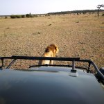 Full grown lion scent marking our vehicle!