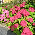 Beautiful pink hydrangeas