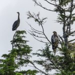 Heron and immature Bald Eagle in nearby trees