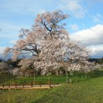 Shionosaki Cherry Blossoms