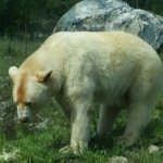 See Clover the Spirit Bear and star attraction at the BC Wildlife Park on a full day tour