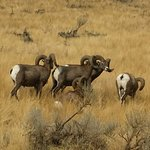 A great photo of our resident big horn sheep - a common sight on a Kamloops Wine Trail tour