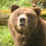 medved grizli nieco zavetril