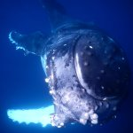 juvenile whale having fun w humans