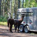 Unloading the llamas