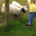 Daughter feeding the Lambs