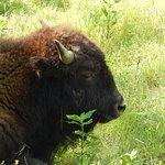 Buffalo at Shelby Farms Park