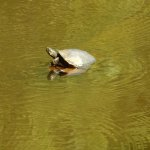 A very shy/fast turtle on the Chicasaw Trail