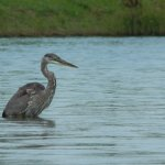 A heron taking a paddle