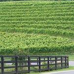 This is their terraced vineyard.